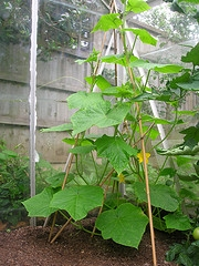 Cucumber, Greenhouse